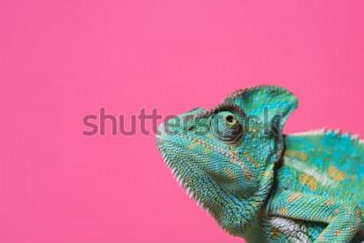 Sticker vue rapprochée de mignon caméléon exotique coloré isolé sur rose