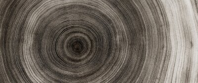 Sticker Warm gray cut wood texture. Detailed black and white texture of a felled tree trunk or stump. Rough organic tree rings with close up of end grain.