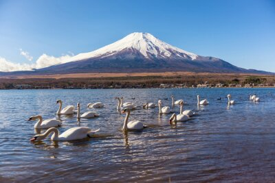 Sticker White Swan swimimg dans Yamanaka Lake, 5 de Fuji