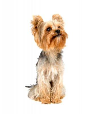 Sticker Yorkshire Terrier