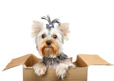 Sticker Yorkshire Terrier à boîte en carton