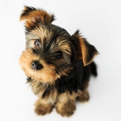 Sticker Yorkshire terrier - portrait of a cute puppy