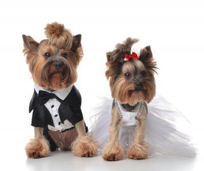Sticker Yorkshire Terriers habillée pour mariage comme balai et mariée s