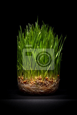 Young green wheat