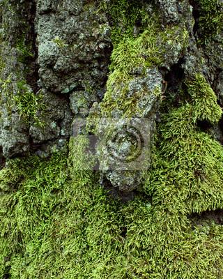 L corce des arbres avec de la mousse et les lichens - Mousse sur les arbres ...